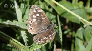 Speckled-Wood-(1).JPG