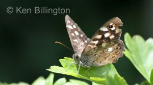 Speckled-Wood-(3).JPG