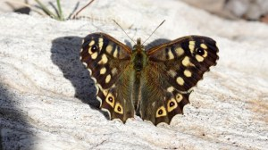 Speckled Wood (Pararge aegeria) (2).jpg