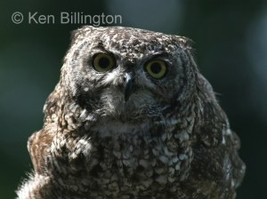 Spotted Eagle-owl (Bubo africanus) (1)