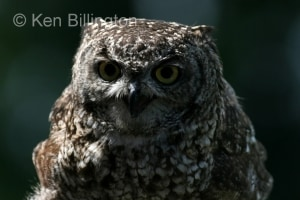 Spotted Eagle-owl (Bubo africanus) (2)