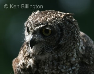 Spotted Eagle-owl (Bubo africanus) (4)