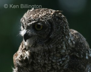 Spotted Eagle-owl (Bubo africanus) (5)