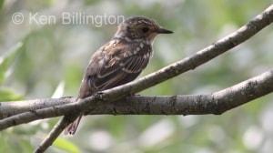Juvenile Spotted Flycatcher (Ficedula hypoleuca)