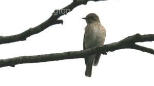 Spotted Flycatcher (Ficedula hypoleuca) (3)