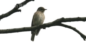 Spotted Flycatcher (Ficedula hypoleuca)