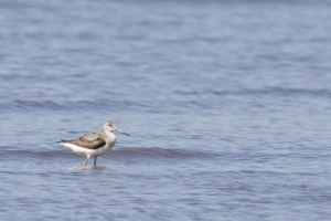 Spotted Greenshank Tringa guttifer