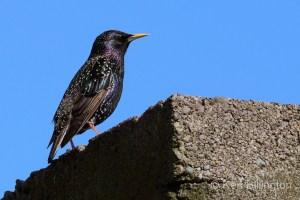 Eurasian Starling (Sturnus vulgaris) (14)