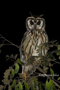 Striped Owl Pseudoscops clamator
