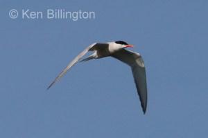 Common Tern (Sterna hirundo) (19)