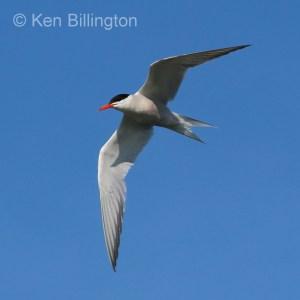 Common Tern (Sterna hirundo) (20)