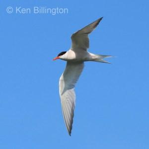 Common Tern (Sterna hirundo) (21)