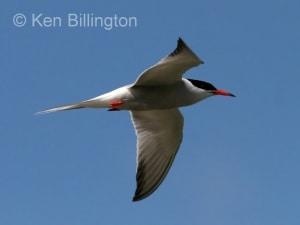 Common Tern (Sterna hirundo) (10)