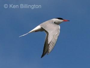 Common Tern (Sterna hirundo) (12)