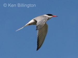 Common Tern (Sterna hirundo) (13)