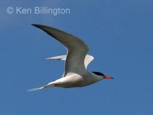 Common Tern (Sterna hirundo) (14)