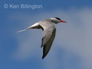 Common Tern (Sterna hirundo) (15)