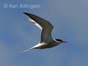 Common Tern (Sterna hirundo) (16)