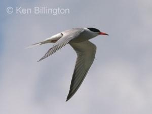 Common Tern (Sterna hirundo) (17)