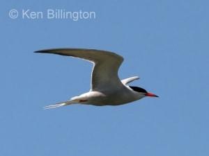 Common Tern (Sterna hirundo) (18)