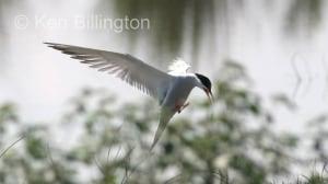 Common Tern (Sterna hirundo) (2)