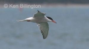 Common Tern (Sterna hirundo) (3)