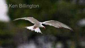 Common Tern (Sterna hirundo) (4)