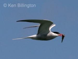 Common Tern (Sterna hirundo) (8)