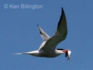 Tern Sterna hirundo
