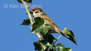 Tree Sparrow (Passer montanus) (1)