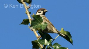 Tree Sparrow (Passer montanus) (2)