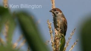 Tree Sparrow (Passer montanus) (4)