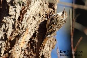 Treecreeper Certhia familiaris