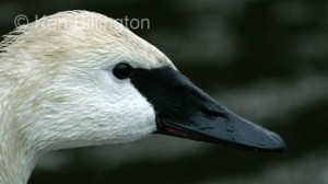Trumpeter Swan Cygnus buccinator