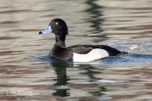 Tufted Duck Aythya fuligula