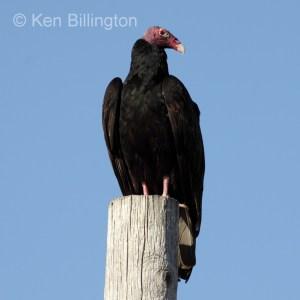 Turkey Vulture (Cathartes aura) (3)