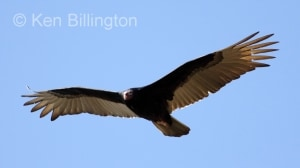 Turkey Vulture (Cathartes aura) (5)
