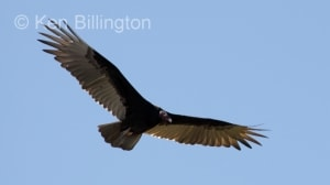 Turkey Vulture (Cathartes aura) (6)