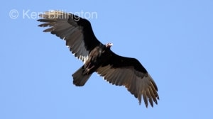 Turkey Vulture (Cathartes aura) (8)
