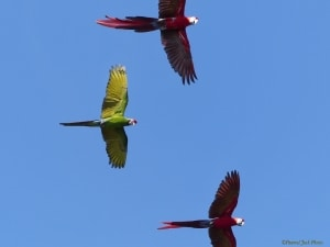 Parrots - Red & Green