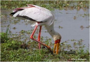 Yellow-billed Stork