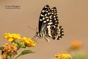 Citrus Swallowtail Papilio Demodocus