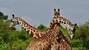 Giraffe Knot!