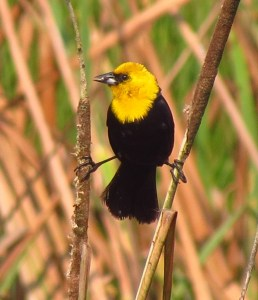 Yellow Hooded Blackbird
