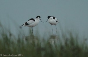 Avocets at Oare Marsh