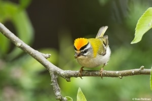 Firecrest singing in my garden!