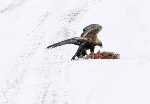 Golden Seizes Kill from Thieving Bald Eagle