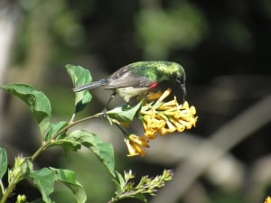 Southern Double-collared Sunbird