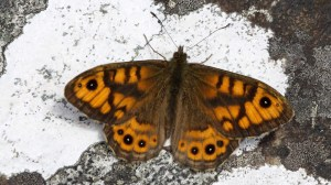 Wall Brown Lasiommata meguera (02)