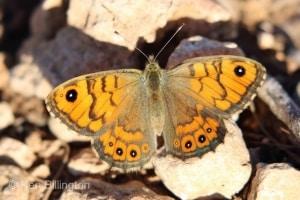 Wall Brown Lasiommata meguera (03)